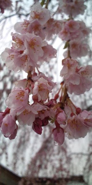 光西寺の枝垂れ桜