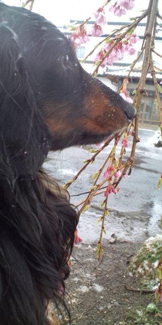 雪と桜とハント